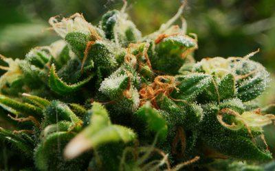 Tricomas de Cannabis: todo lo que necesitas saber